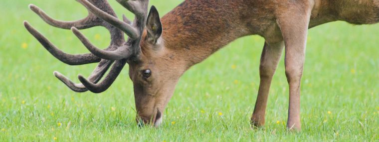 Deer eating lush green grass
