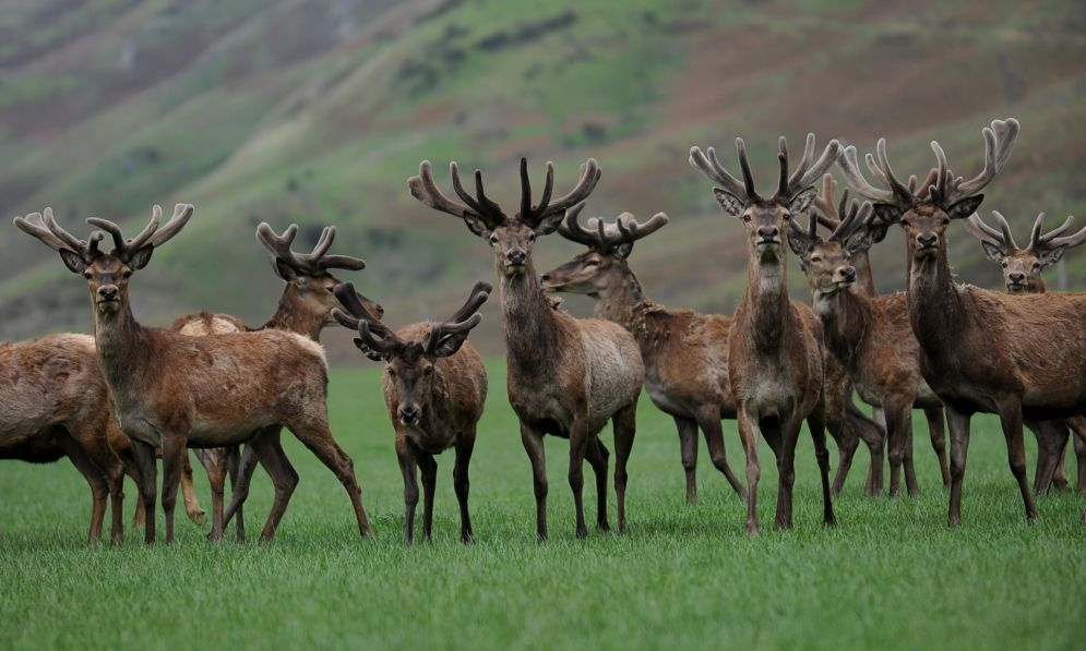 Group of deer in a field